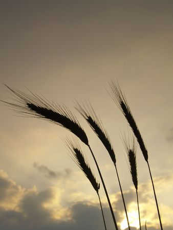 silhouettes of five barley ears, backlit in the evening with clouds in the sky Stock Photo - 5150097