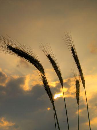silhouettes of five barley ears, backlit in the evening with clouds in the sky Stock Photo - 5150099