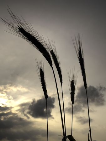 silhouettes of five barley ears, backlit at sunset with clouds in the sky