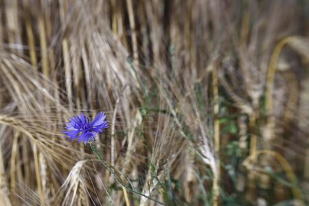 cornflowers in barley field, photo taken with selective focus device photo