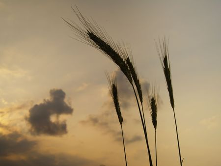 silhouettes of five barley ears, backlit in the evening with clouds in the sky Stock Photo - 5166430