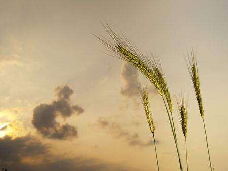 five barley ears, in the evening with clouds in the sky Stock Photo - 5166433