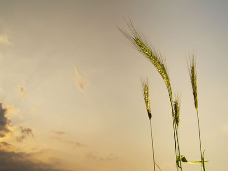 five barley ears, in the evening with clouds in the sky Stock Photo - 5187846