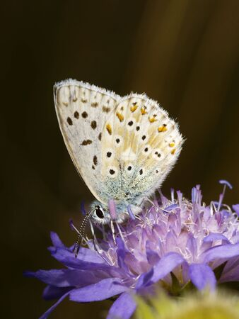 polyommatus icarus: common blue, polyommatus icarus, on blossom Stock Photo