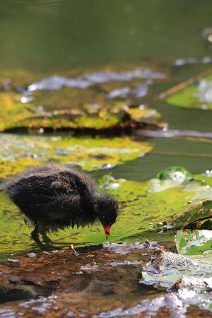 jacana: Wattled Jacana, fedling walking on waterlilys leafs Stock Photo