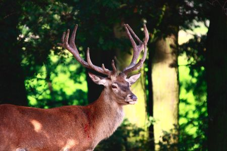 a male deers portrait in summer