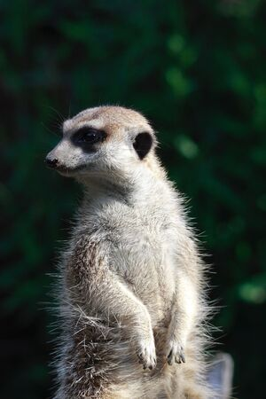 suricate: watchful suricate portrait