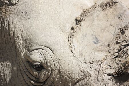 detail photo of a rhinos eye and thick gray skin photo