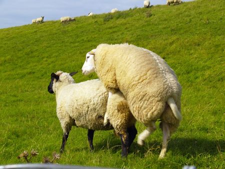 sheep mating on pasture in northern Germany photo