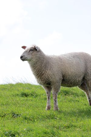 dike: sheep on dike