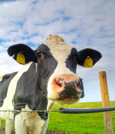 single cow on pasture in northern Germany photo