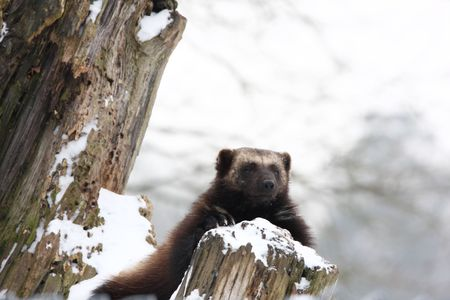 critters: wolverine resting on an old tree trunk