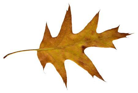 autumnally: isolated autumnally colored oak leaf on white background Stock Photo