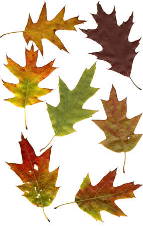 autumnally: isolated autumnally colored oak leafs on white background