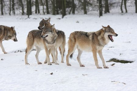 pride of wolfes in winter