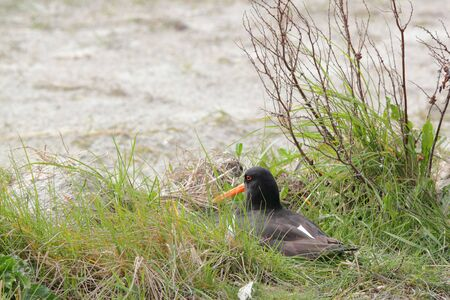 breeding oyster-catcher on nest Stock Photo - 7535279