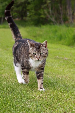 gray cat walking on grass photo