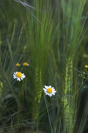 photo of camomille blossoms in a barley field photo