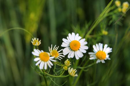 selective focus photo of camomille blossoms photo