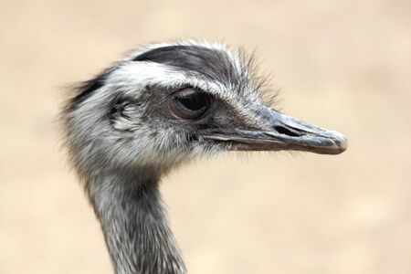 rhea: portrait of an american rhea