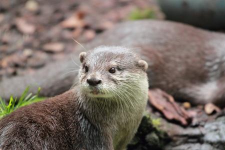 aonyx cinerea: Oriental Small-clawed Otter portrait, Aonyx cinerea