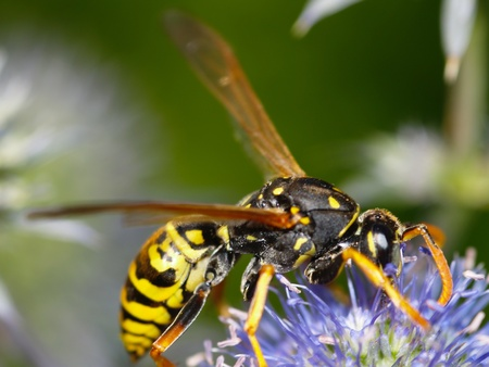 wasp on a thistles blossom Stock Photo