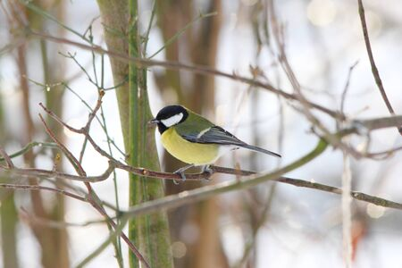great tit on a twig in winter Stock Photo - 10255733