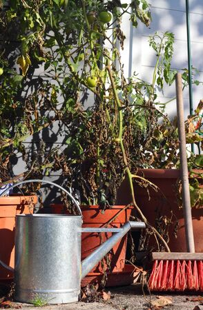 garden still life with tomatoe plants, ewer and broom in late summer photo
