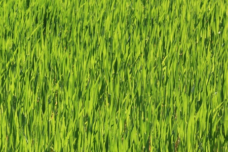 green springtime barley field texture Stock Photo