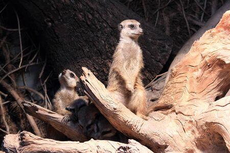 watchful: watchful suricate with family Stock Photo
