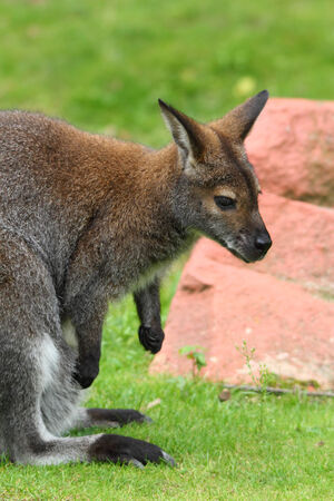 Red-necked wallaby portrait