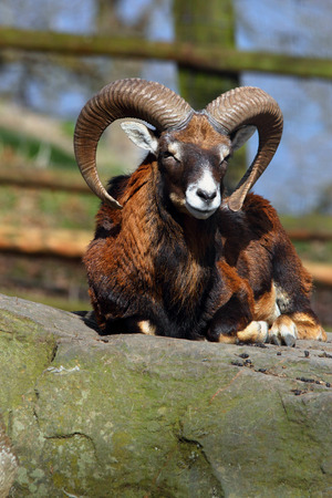 european mouflon on a rock Stock Photo
