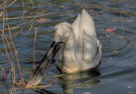 Dalmatian Pelican swimming on a river