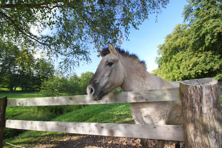 a tarpan horse looking over a wooden fence Stock Photo