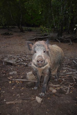 wild boar portrait Stock Photo
