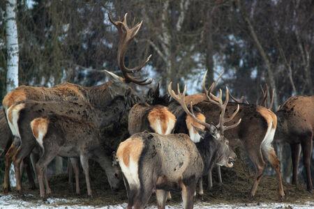 pride of red deers in winter