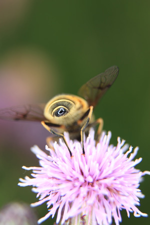bee on a thistles blossom