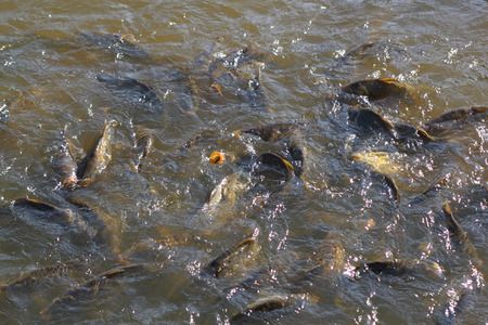 Common carps beeing fed in a pond Stock Photo