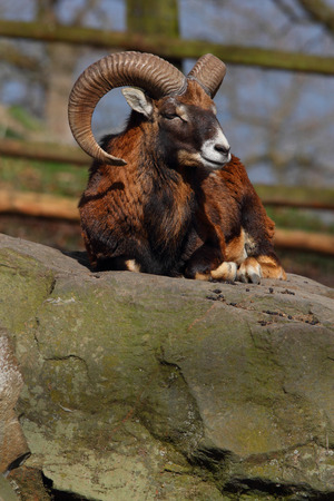 mouflon: european mouflon on a rock Stock Photo