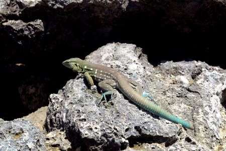 iguana: iguana 1