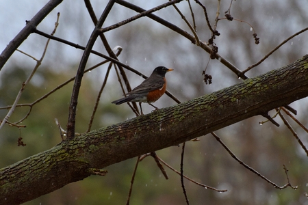 unaffected: Robin hunting for food in the rain