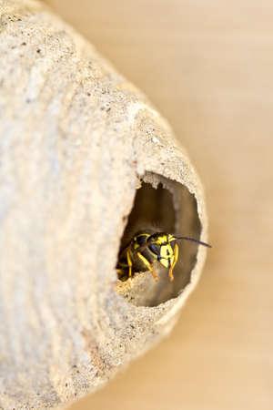 Une abeille qui garde la tête dressée la tête à l'entrée de la ruche Banque d'images - 9867730