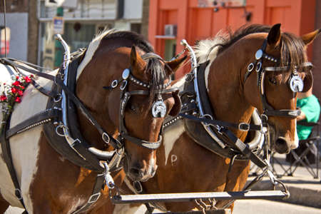 ex: Two horses pulling a carriage at the 2011 Queen City Ex Parade in Regina, Saskatchewan
