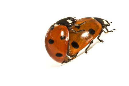 coitus: Ladybugs Makin Whoopee, one on top of the other doing their own business Stock Photo