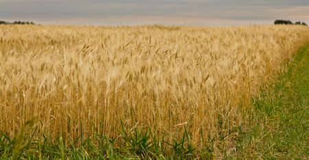 A farmland with wheat ready to be harvested