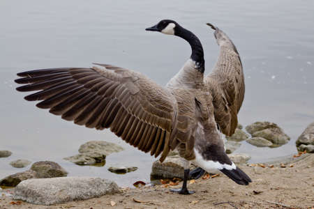 A Canadian goose with its wings spread out showing off its beauty