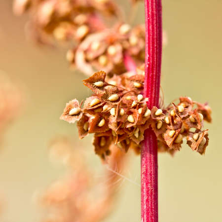 A plant with a red stem and yellow seeds attached to its leaves Reklamní fotografie