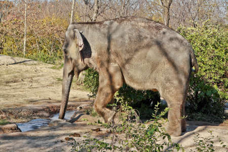 A young elephant drinking water from a small stream Banco de Imagens
