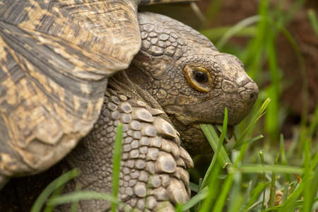 A turtle chewing on grass it just ate