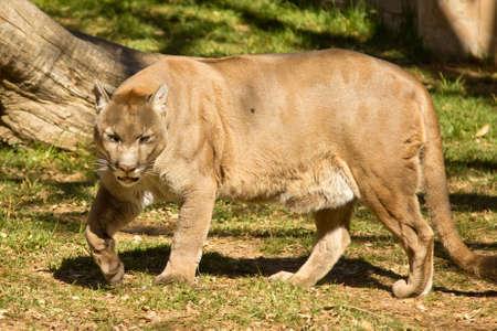 A puma, cougar or mountain lion walking around photo